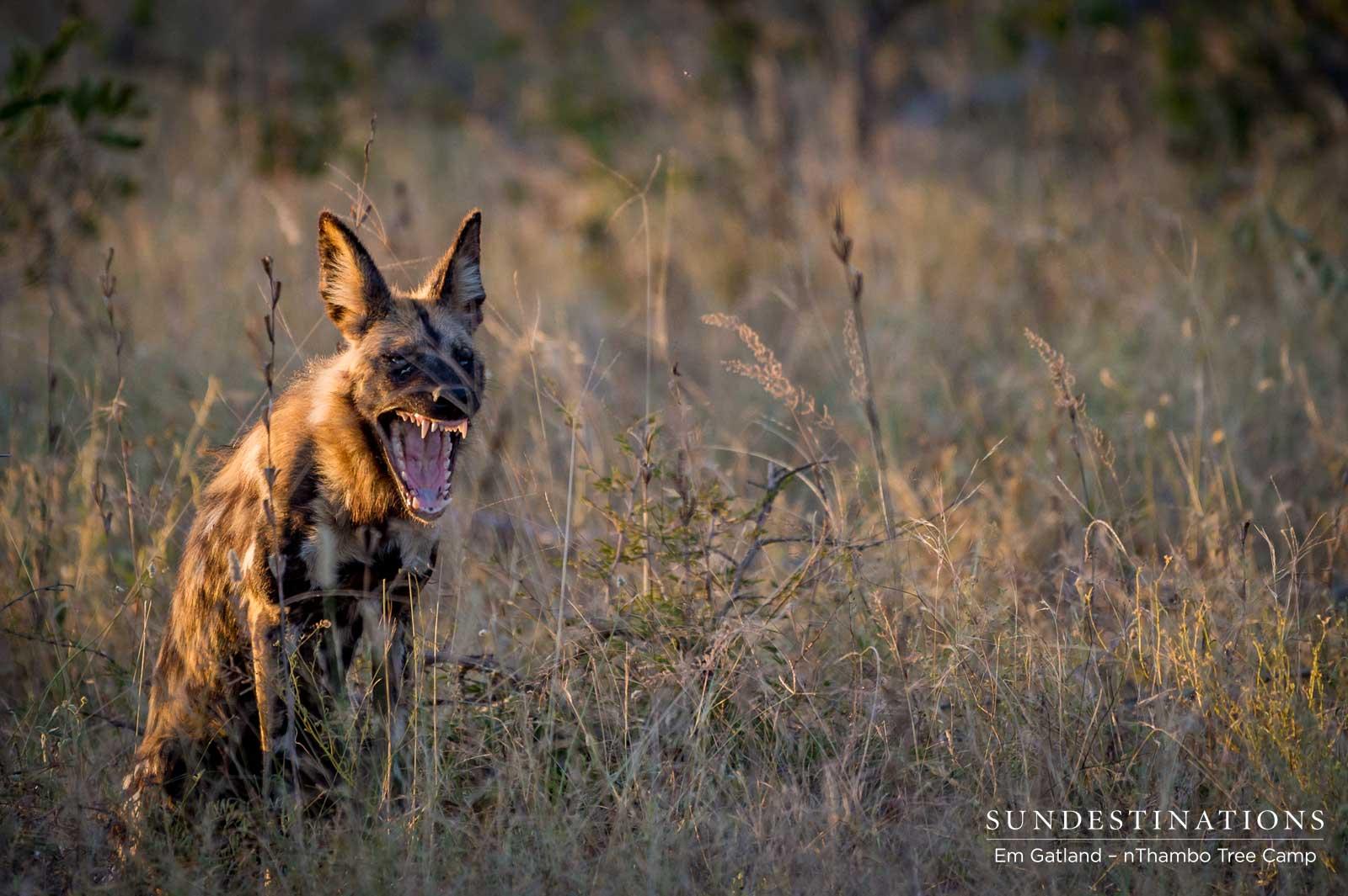 Wild Dog at nThambo
