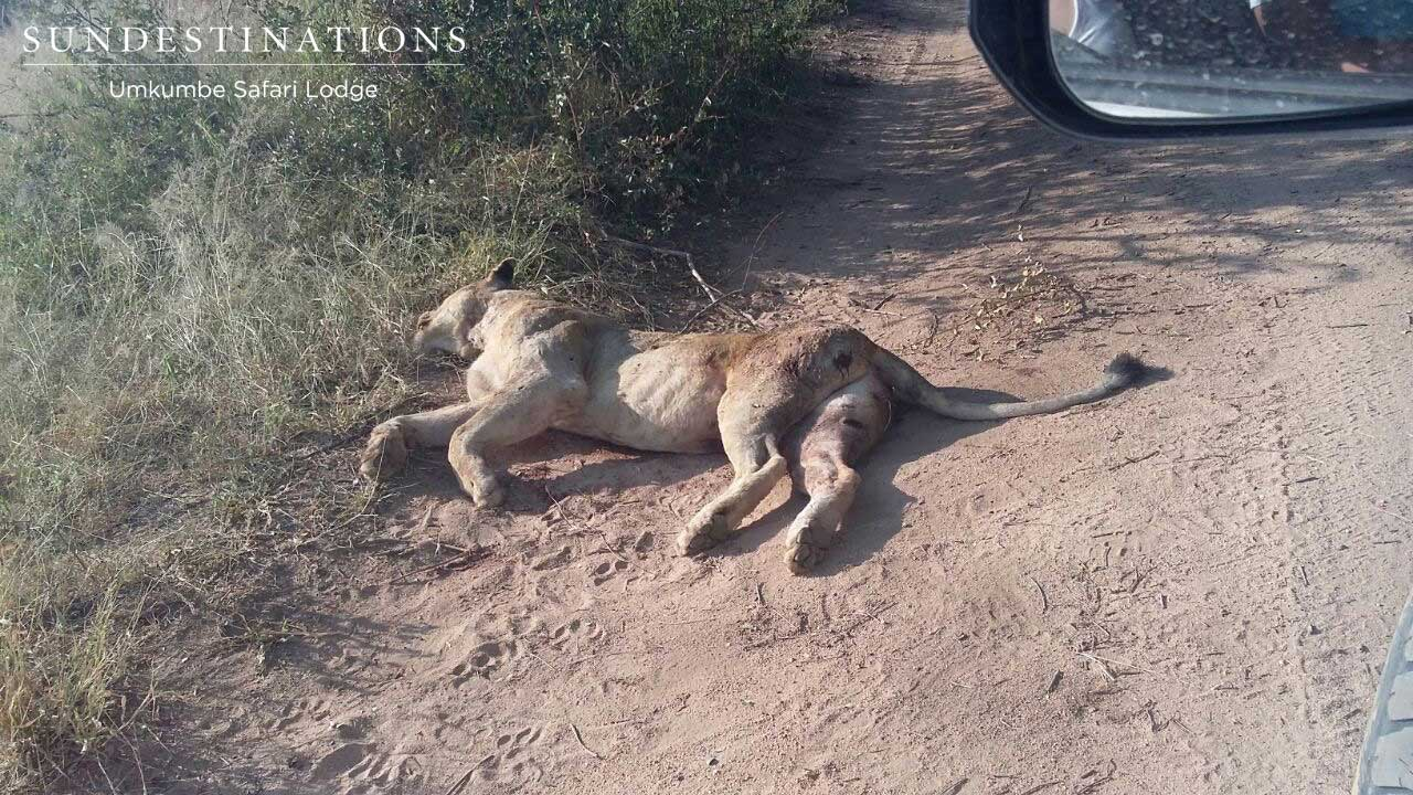Dead Lioness in Sabi Sand