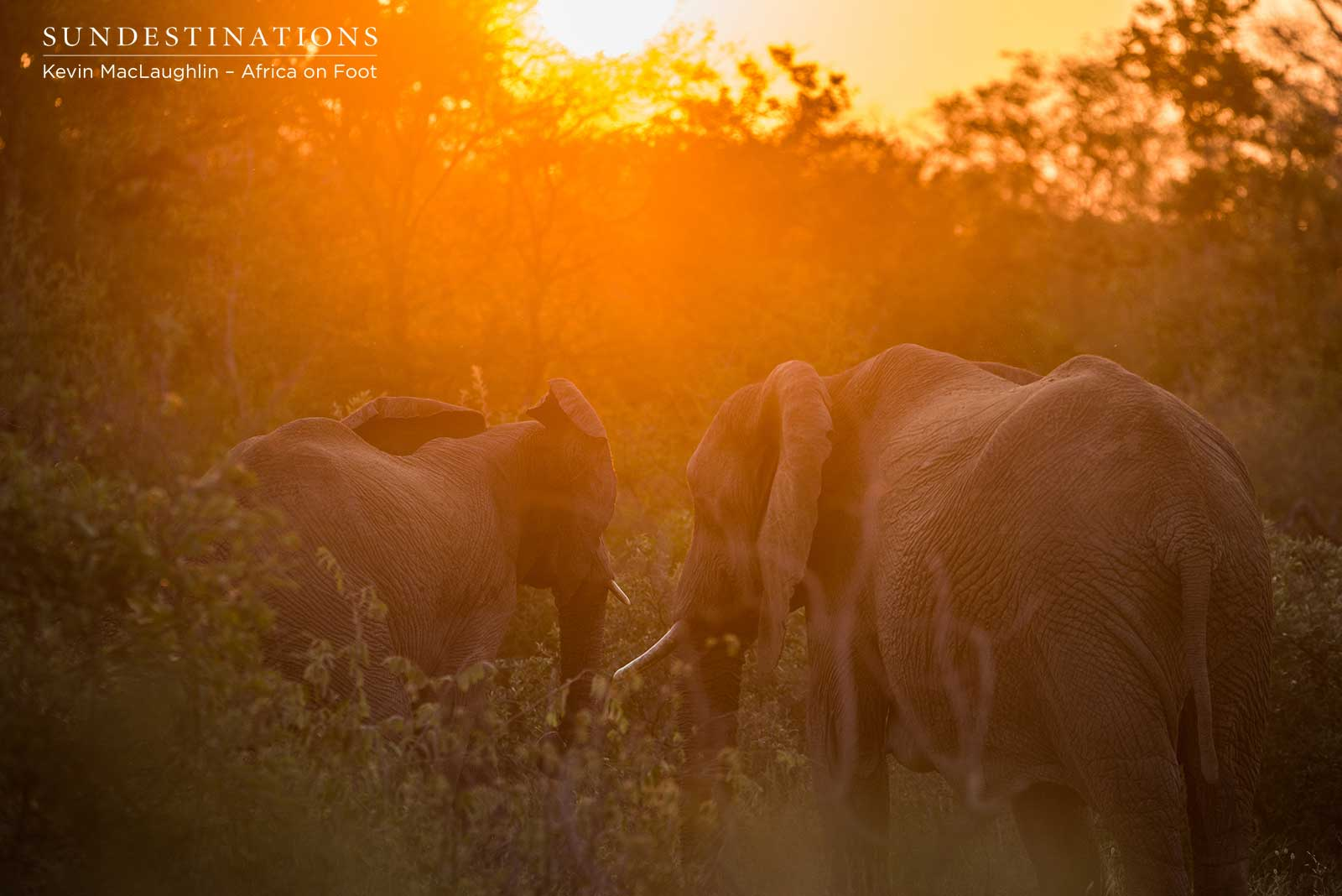 Africa on Foot Elephant in Sunset