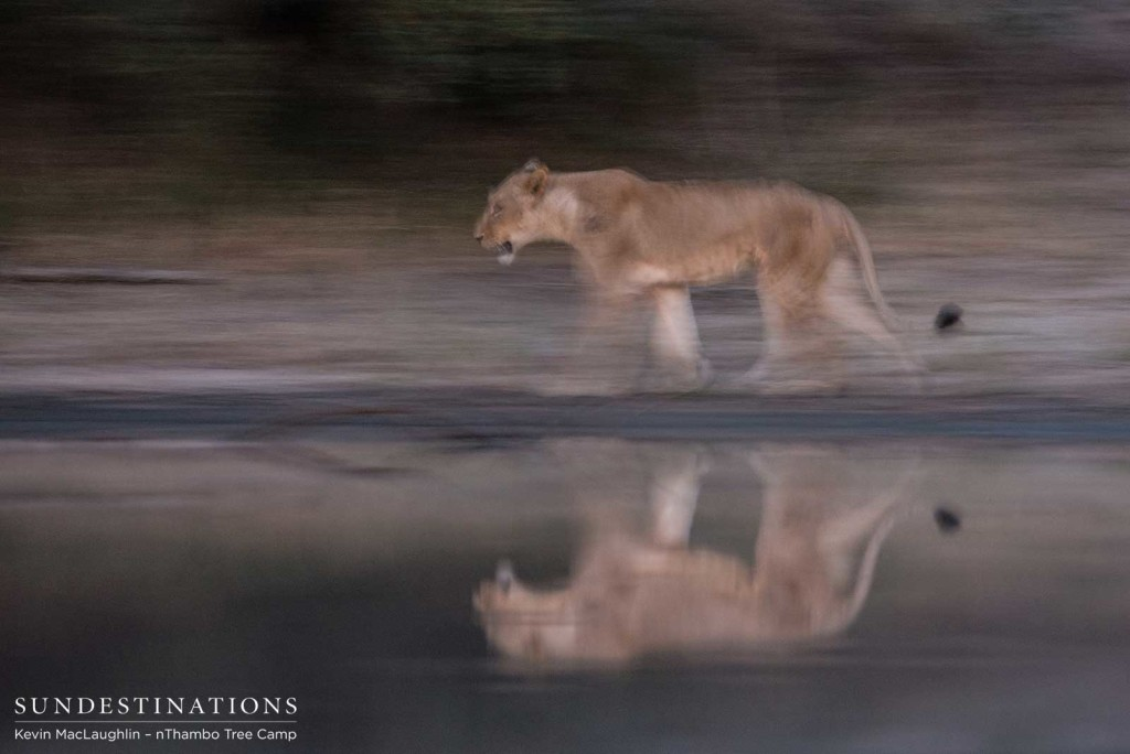 Still water capturing the reflection of a lioness on the move