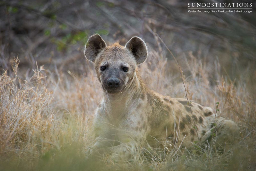 A hyena's interest is piqued as he catches sight of us