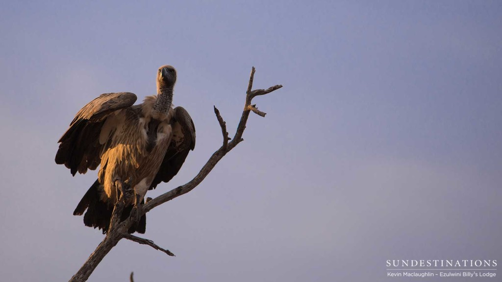 Moments before take off, a white-backed vulture catches the warm glow of the evening sun