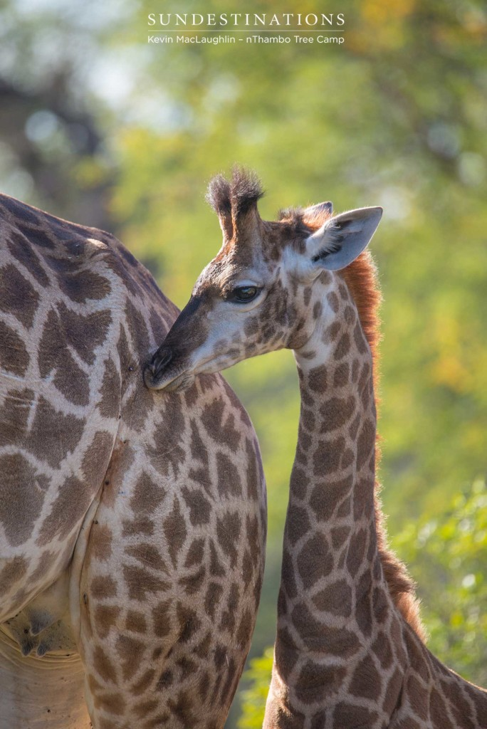 A tender moment between a mother giraffe and her youngster - so much growing still to do