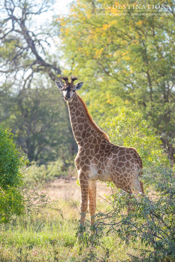 A giraffe calf pauses to investigate her audience before galloping awkwardly to her mother's side