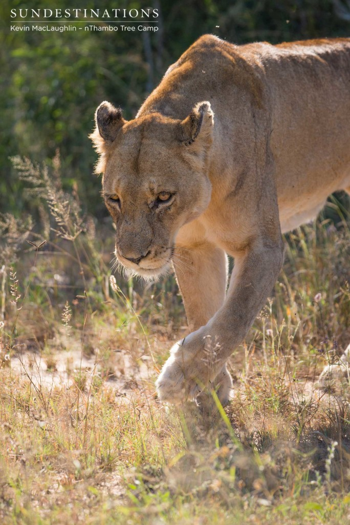 Walking a path she knows well, a Ross Breakaway lioness pads through the veld in search of shade after the morning sun has warmed up beyond comfort