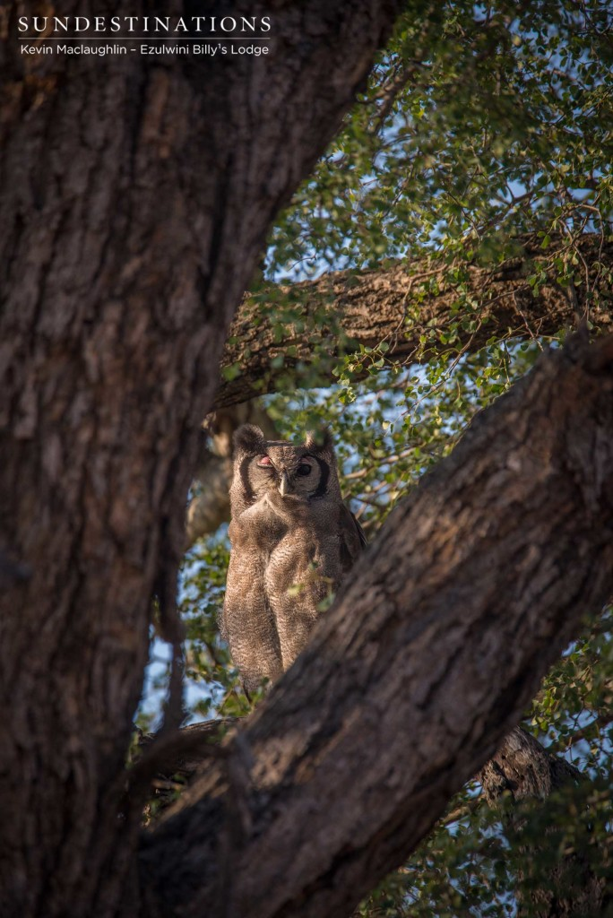 Sleeping with one eye open, a Verreaux's eagle owl gazes down lazily from its perch up high