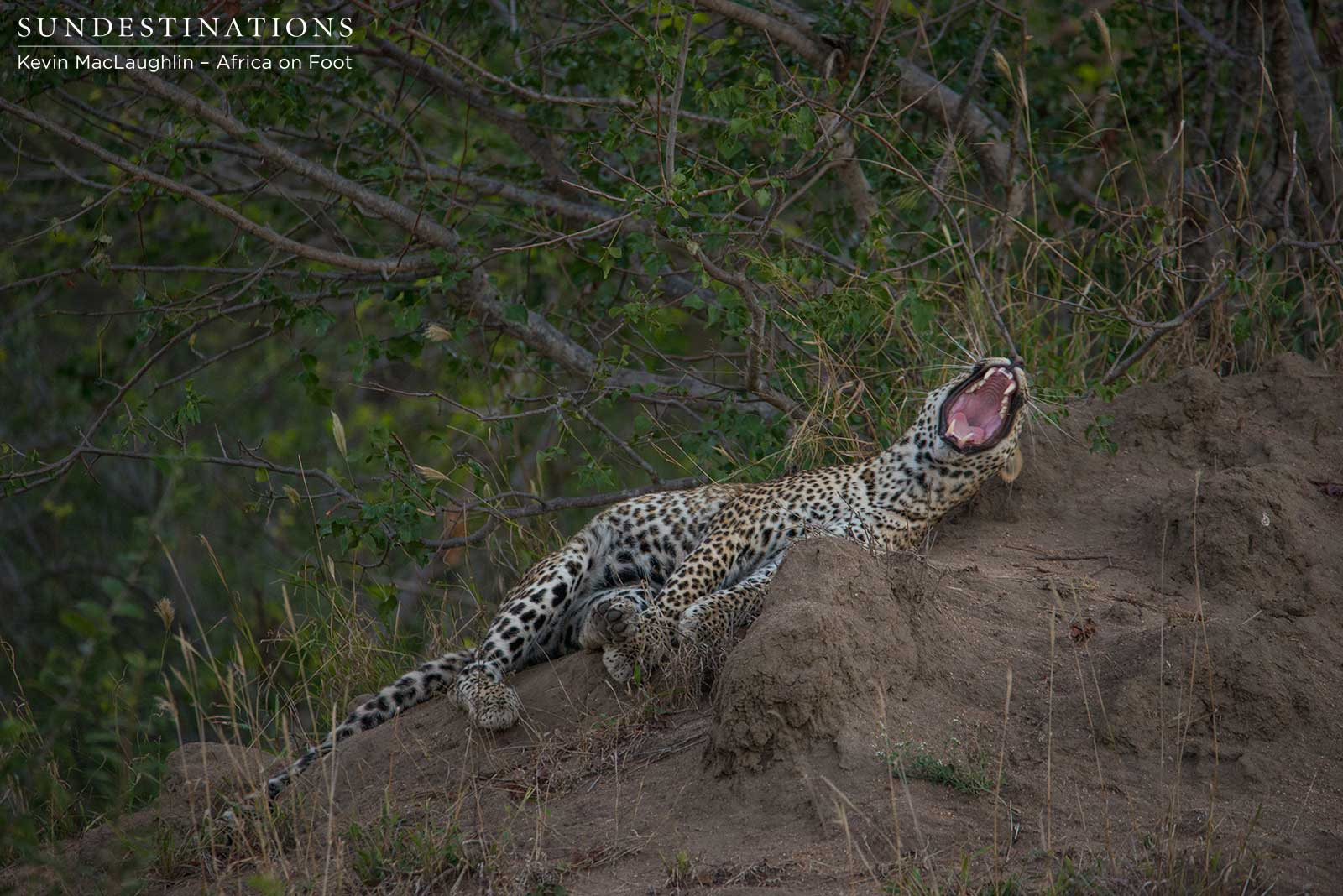 Bundu Bashing: Leopard on the prowl!