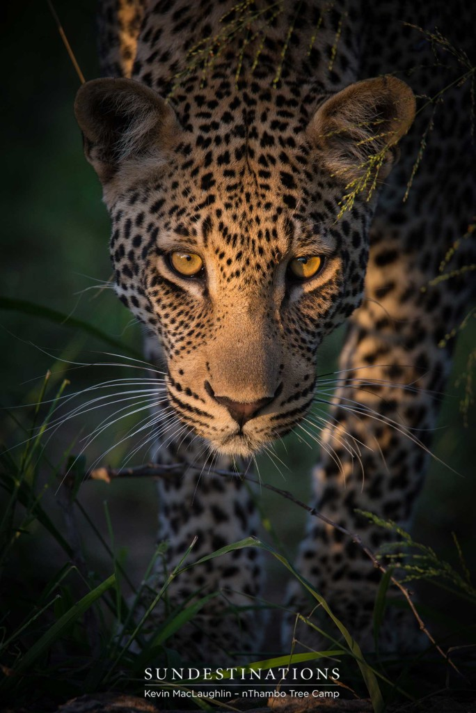 A look of purpose and concentration on Bundu's face as he moves like liquid through the bush