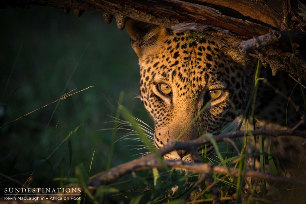 Bundu, male leopard in Klaserie