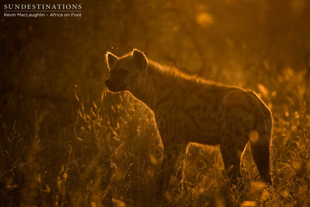 Hyenas lurking at Klaserie lion kill
