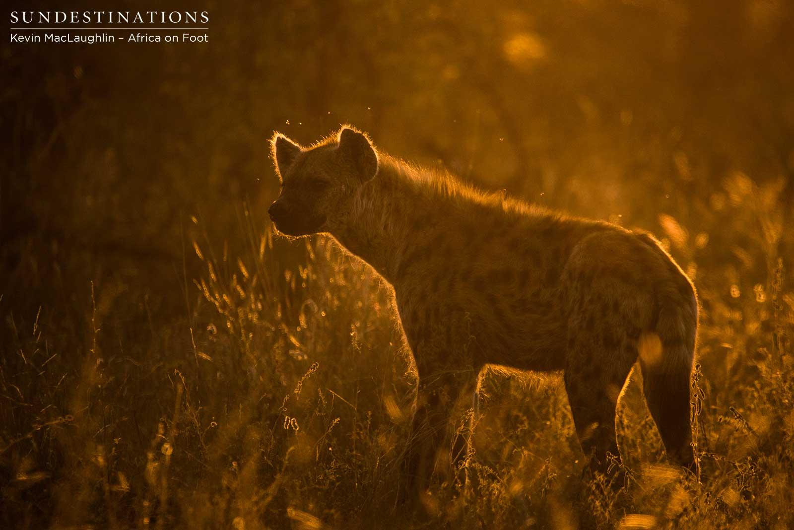 Hyenas lurking at Klaserie lion kill