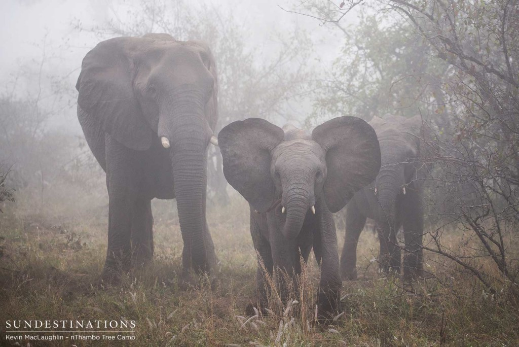 African giants on a misty morning