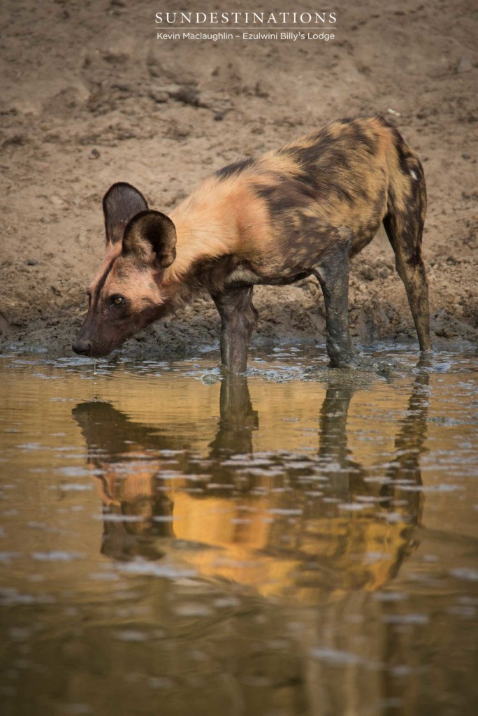 Painted reflections in muddy waterholes in Balule