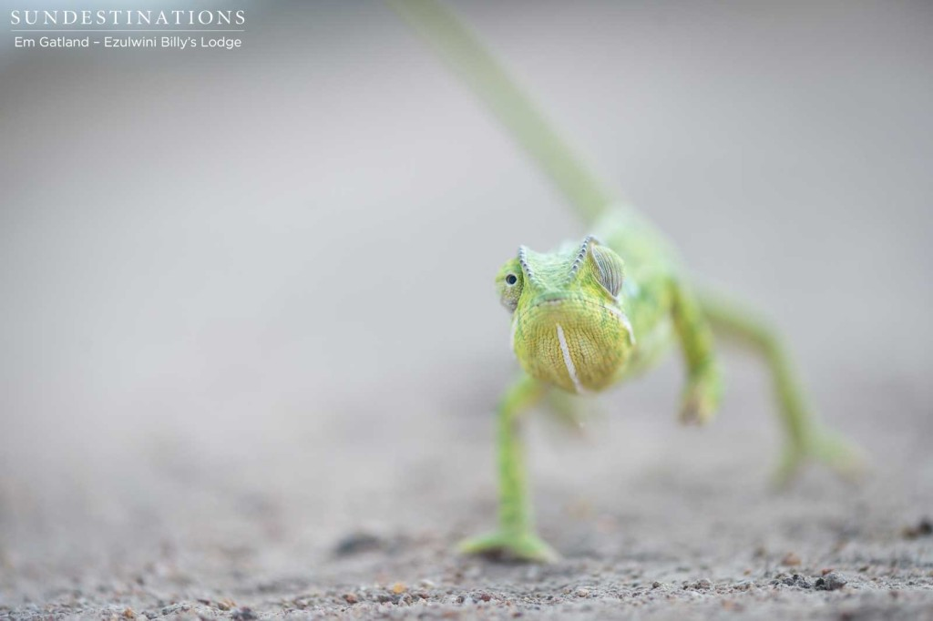 A flap-neck chameleon marching to the beat of its own drum