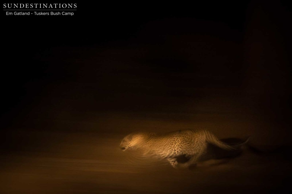 Leopard gives chase in the darkness