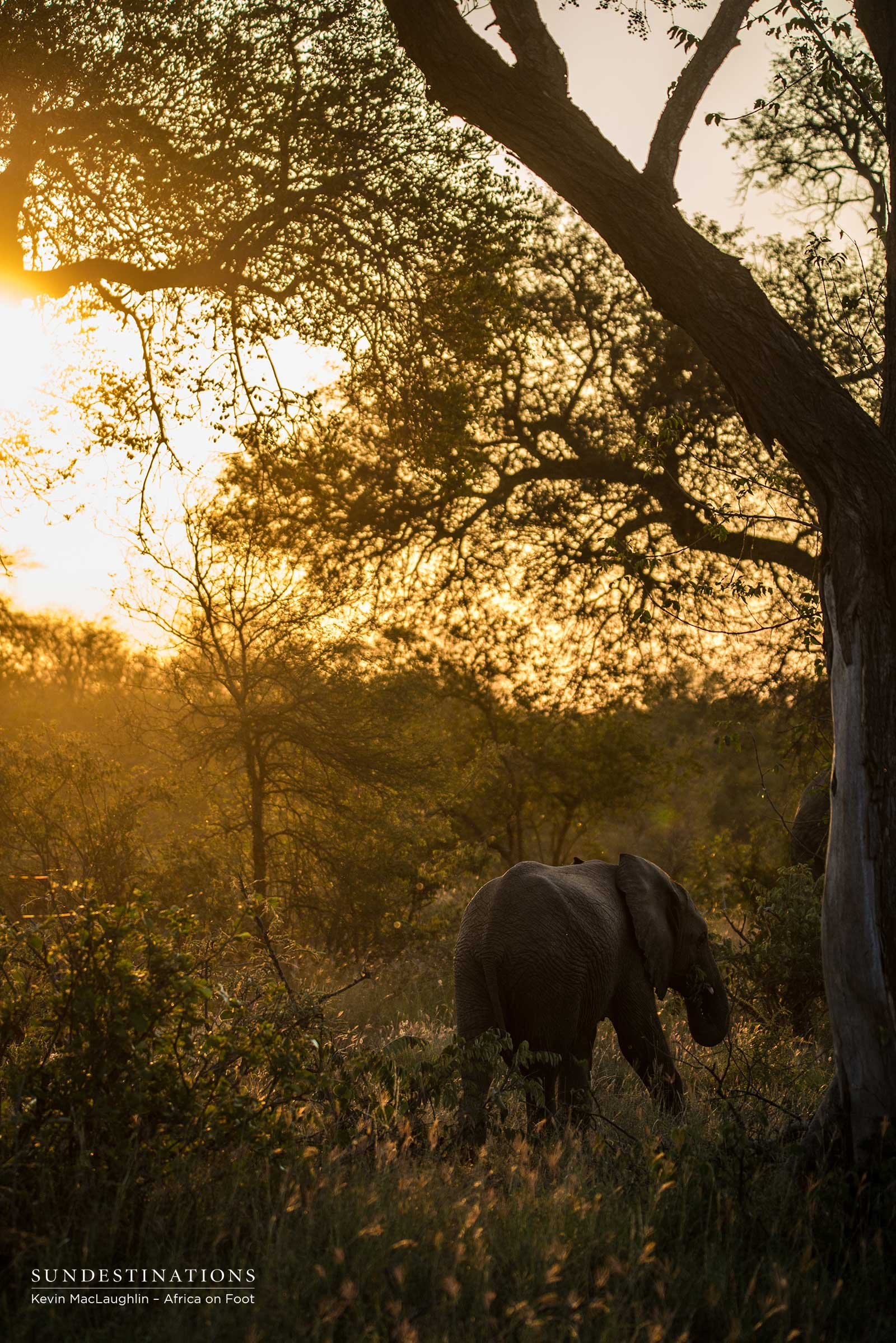 Elephant in Klaserie