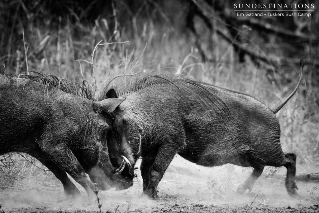 Two warthog sows clash in head to head combat