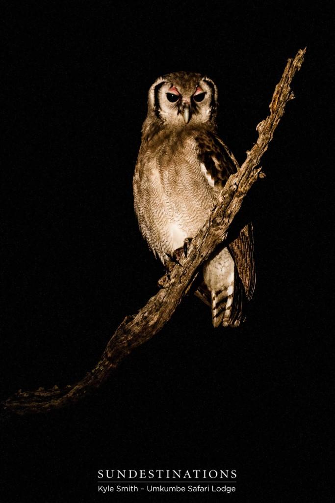 A Verreaux's eagle owl looking regal, illuminated in the spotlight