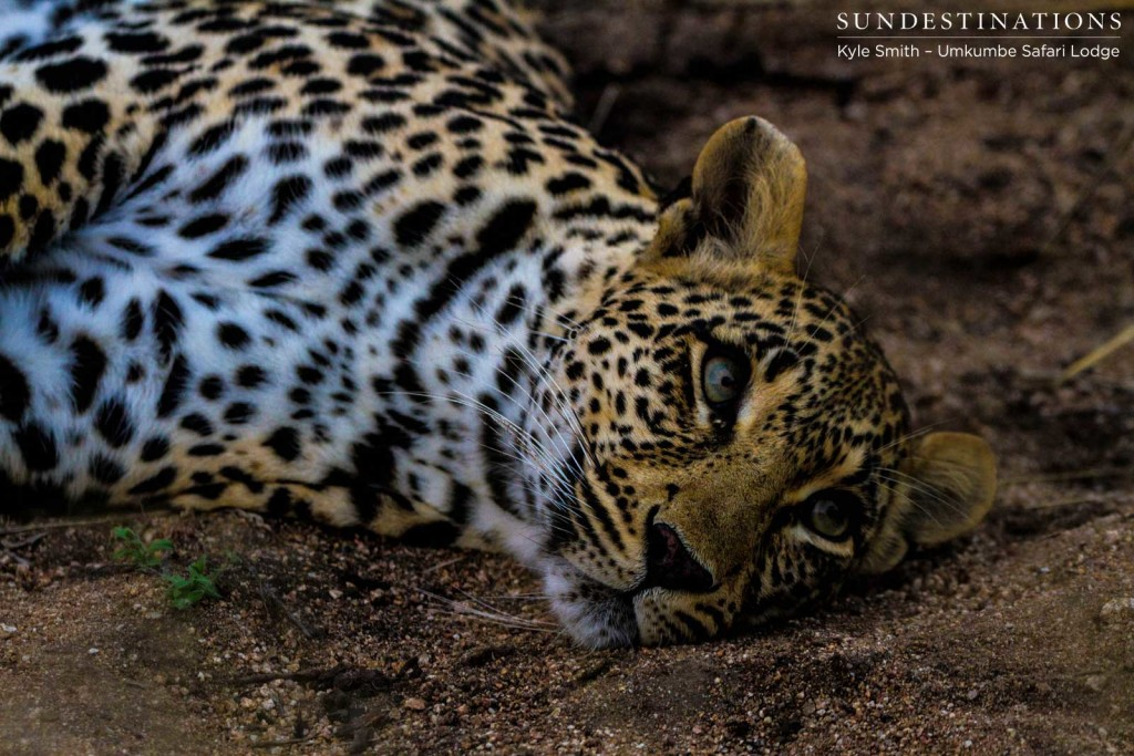 The unmistakable leopardess, Tatowa, relaxing at the foot of the tree guarding her prey