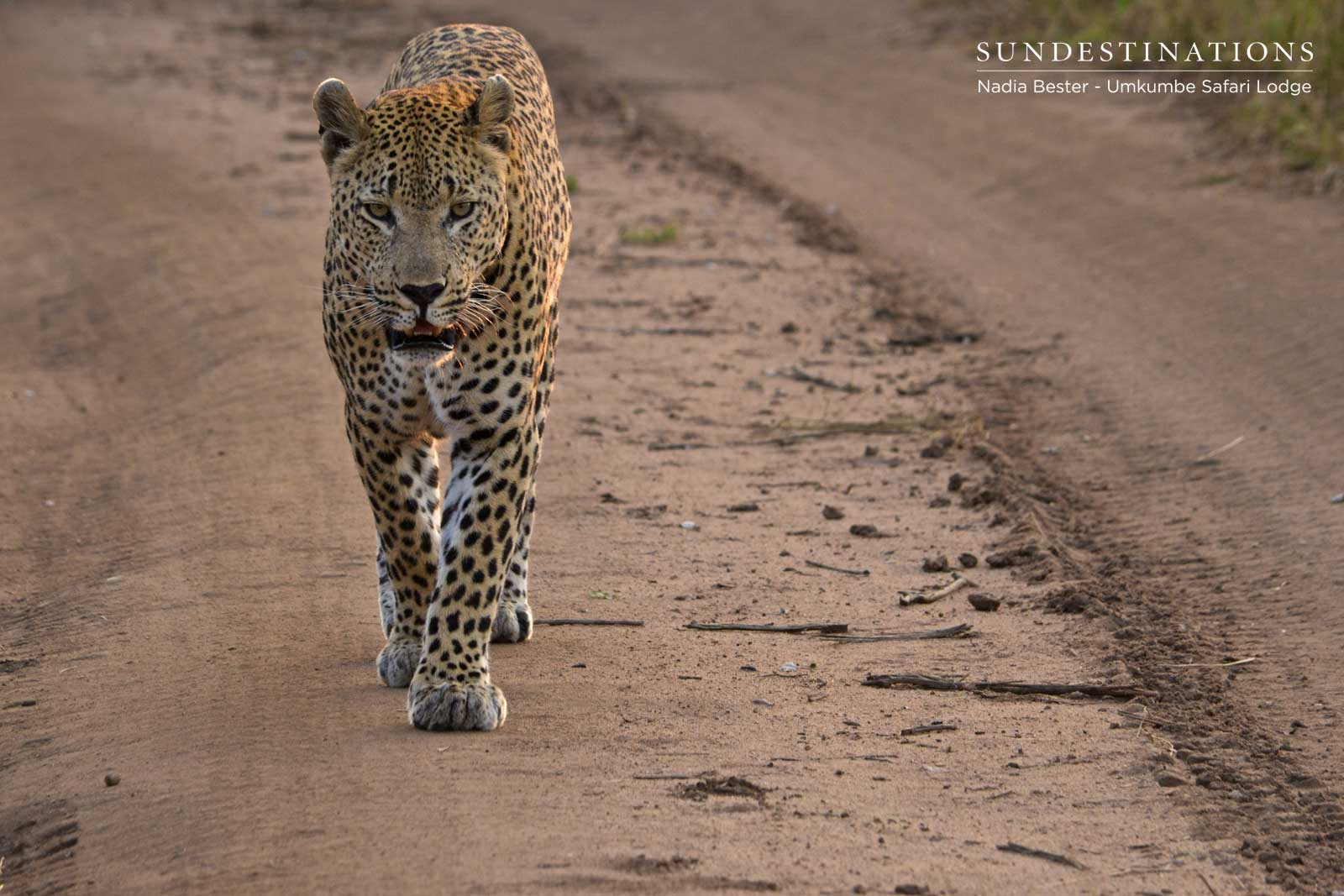 Umkumbe Leopard : Max, Tatowa and a Rare Sighting of Inyathini