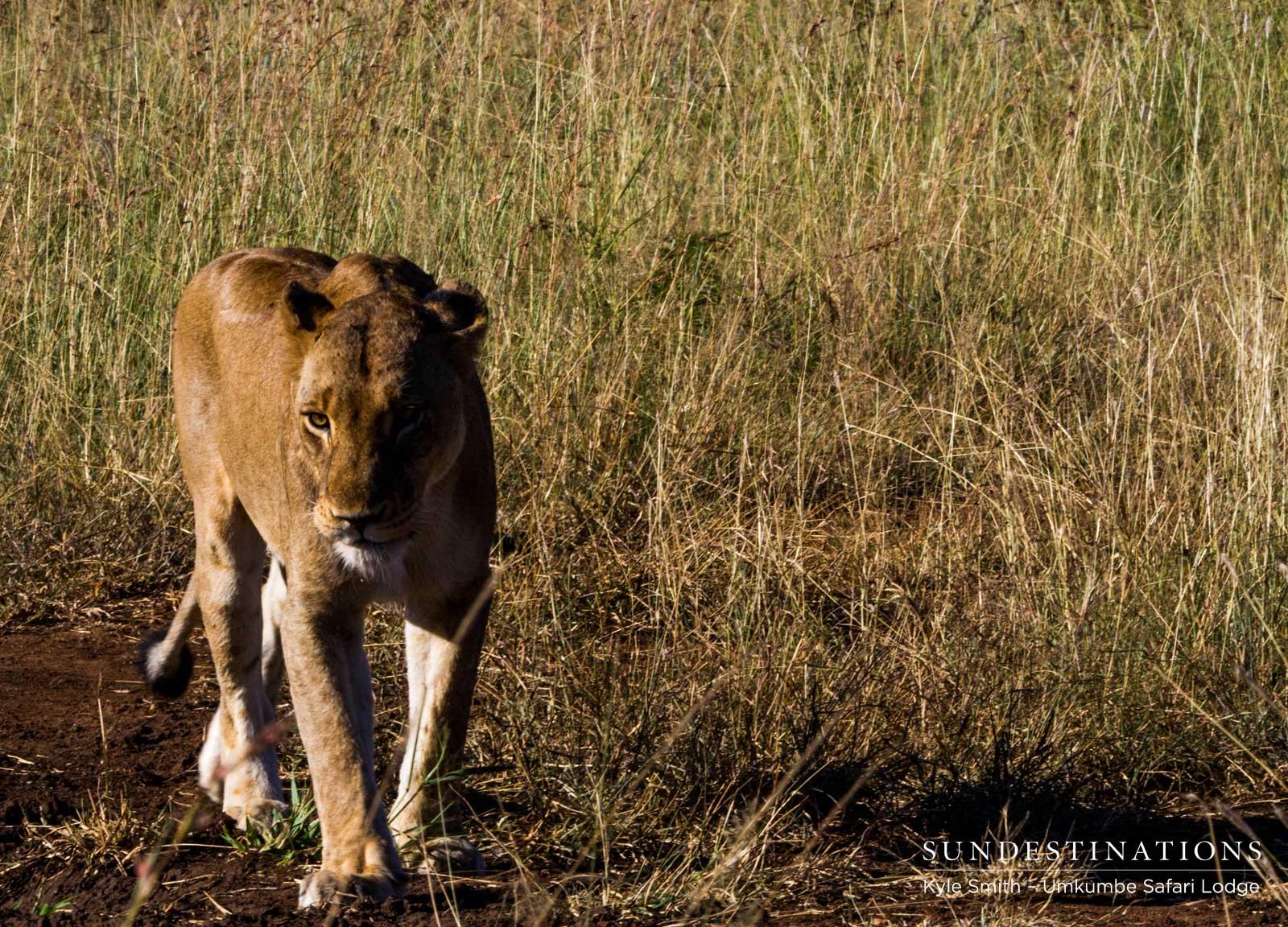 Mhangeni Lioness Patrolling