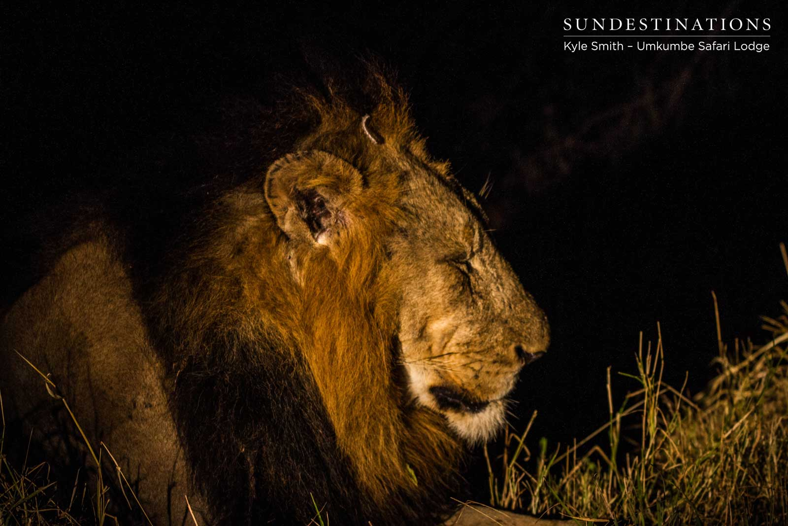Umkumbe Lion Update : Two Nomadic Males and the Mhangeni Lionesses
