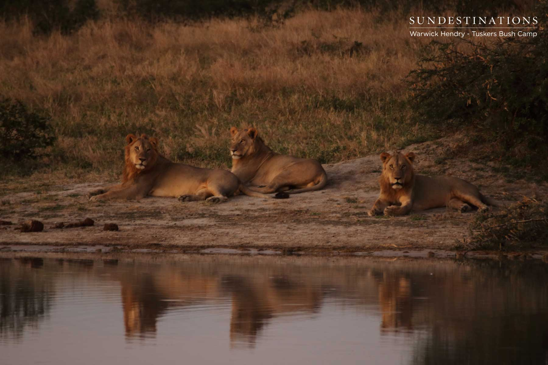 Kwatale Conservancy Lion Update : Invasion of the Picnic Pan Triad
