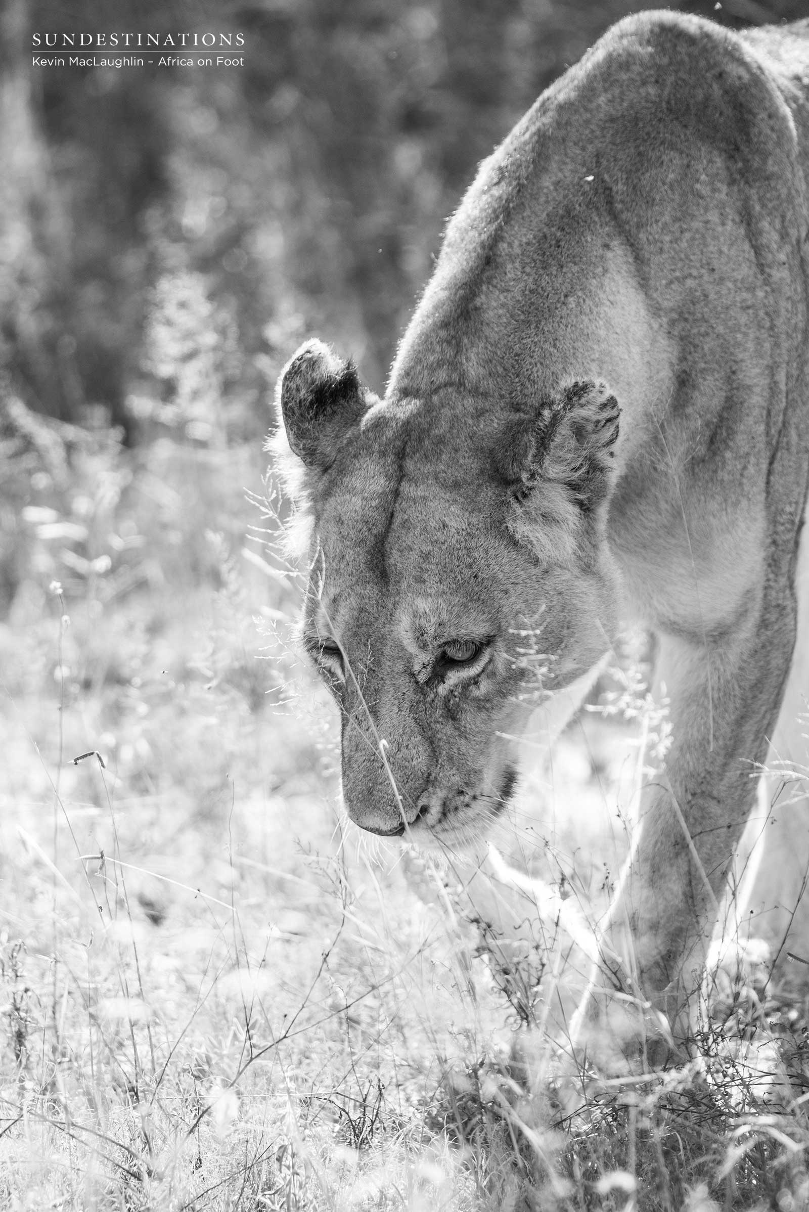 Lioness Africa on Foot