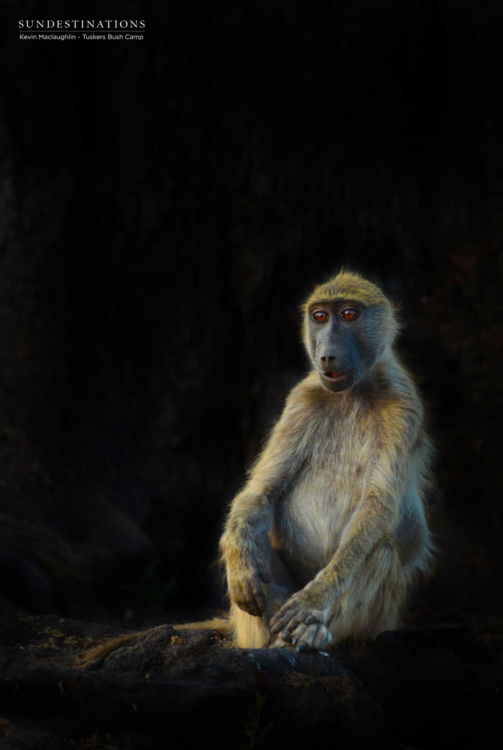 Baboon at Tuskers Bush Camp