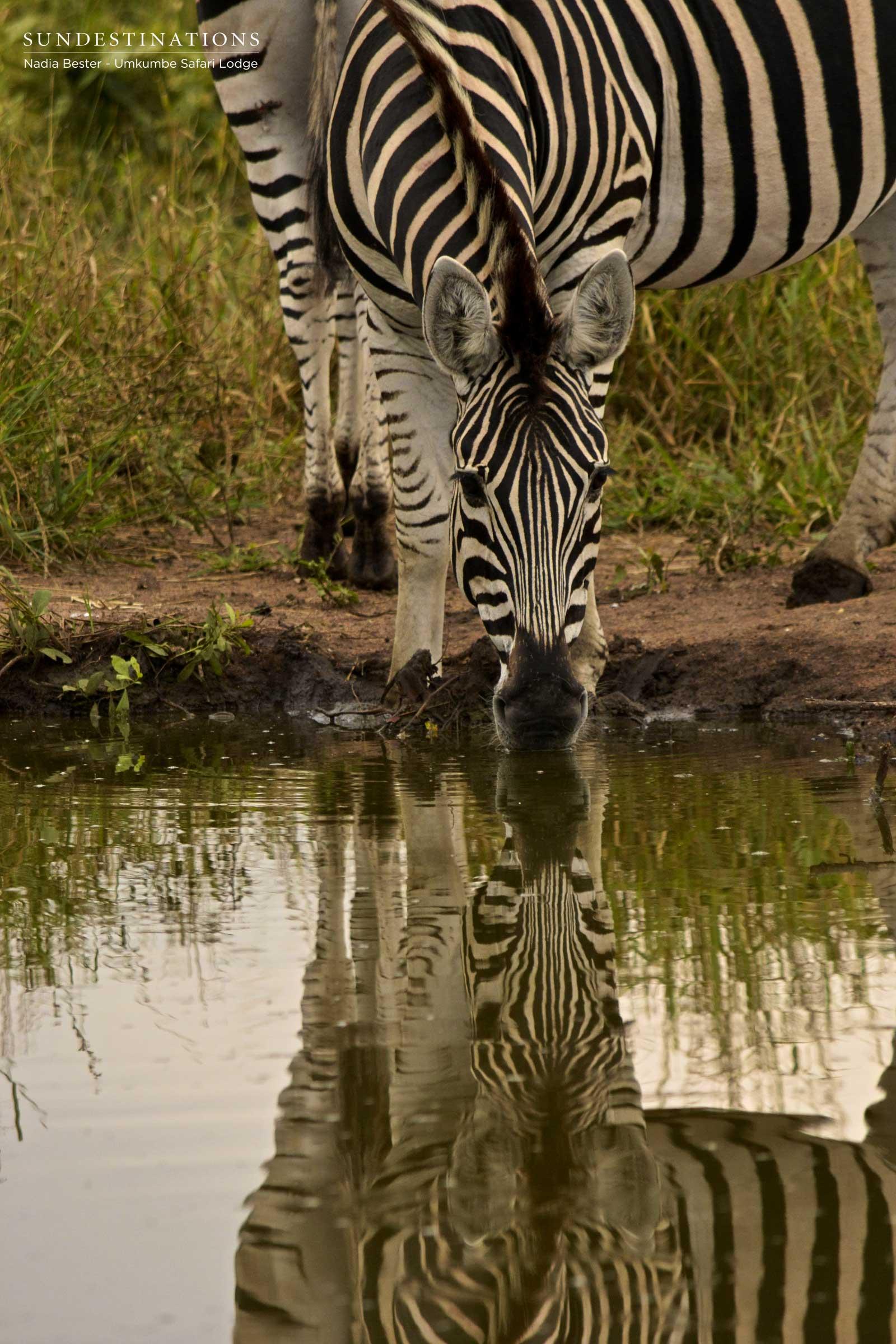 Umkumbe Zebra
