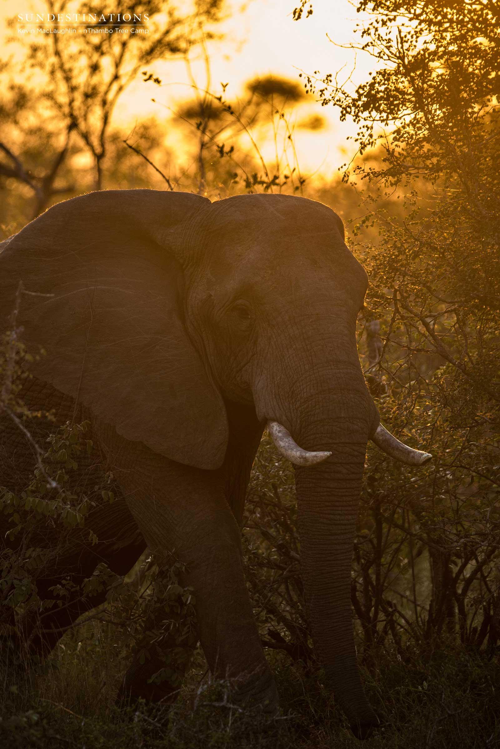 Elephant at nThambo Tree Camp