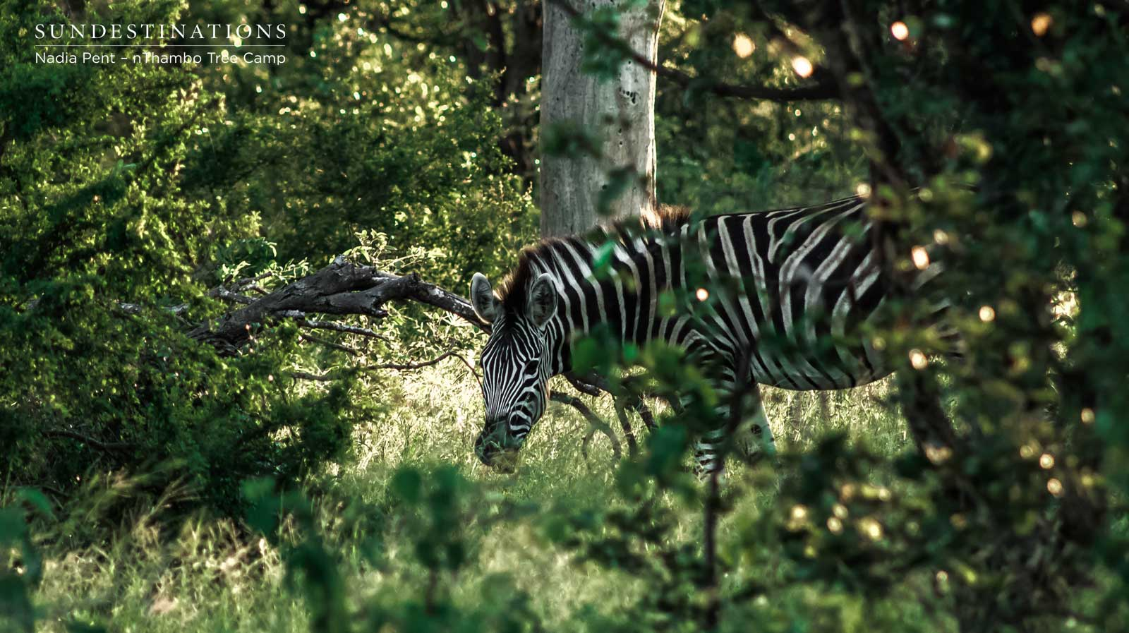 Zebra at nThambo Tree Camp