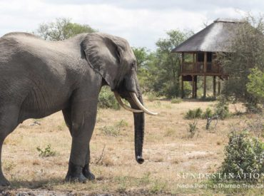 nThambo Tree Camp is a gentle oasis located in the midst of the wild Klaserie. Wooden chalets on stilts are dotted around a main central area and the camp is completely unfenced. A hint of a waterhole lies in front of the splash pool; and both sources of water are a major drawcard for a […]