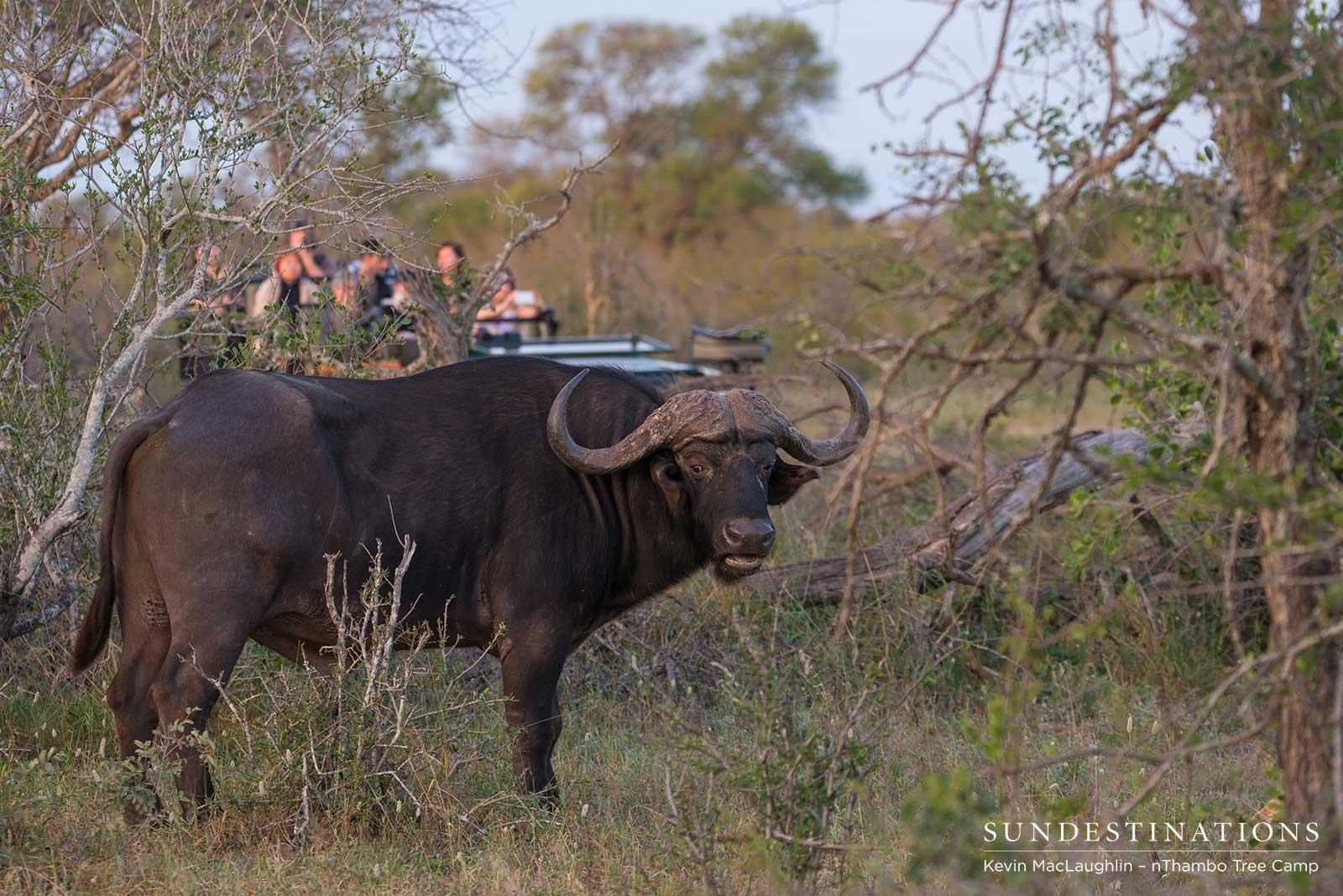 nThambo Tree Camp Buffalo
