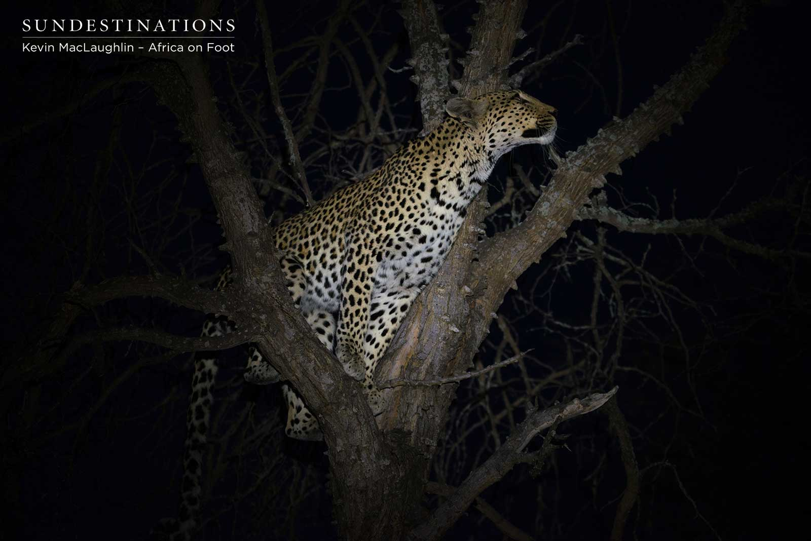 Lions Take Down Prey while Leopard Sits in Tree Above
