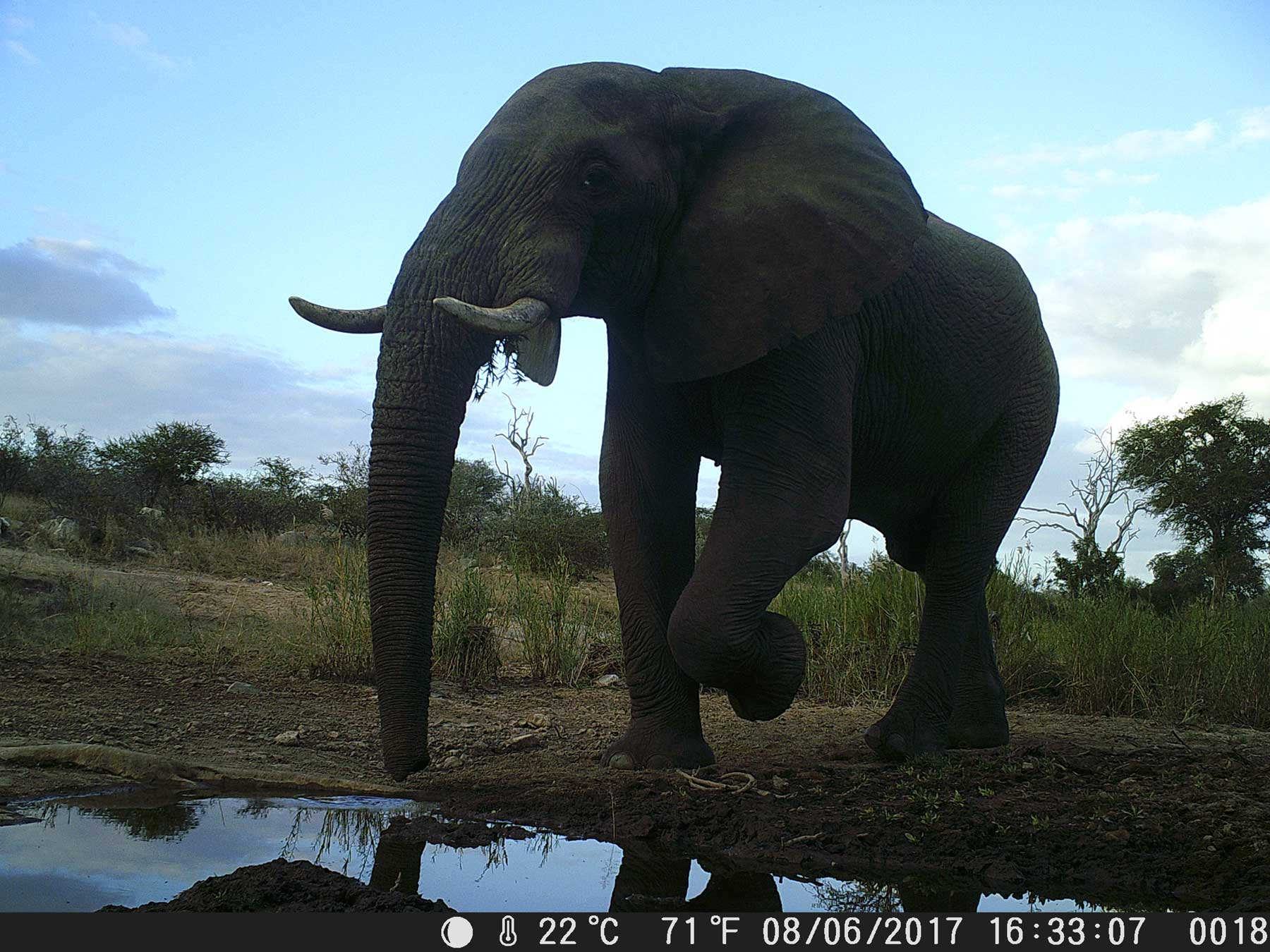 #CameraTrapTales : Ezulwini Game Lodges Films Lions and Ellies