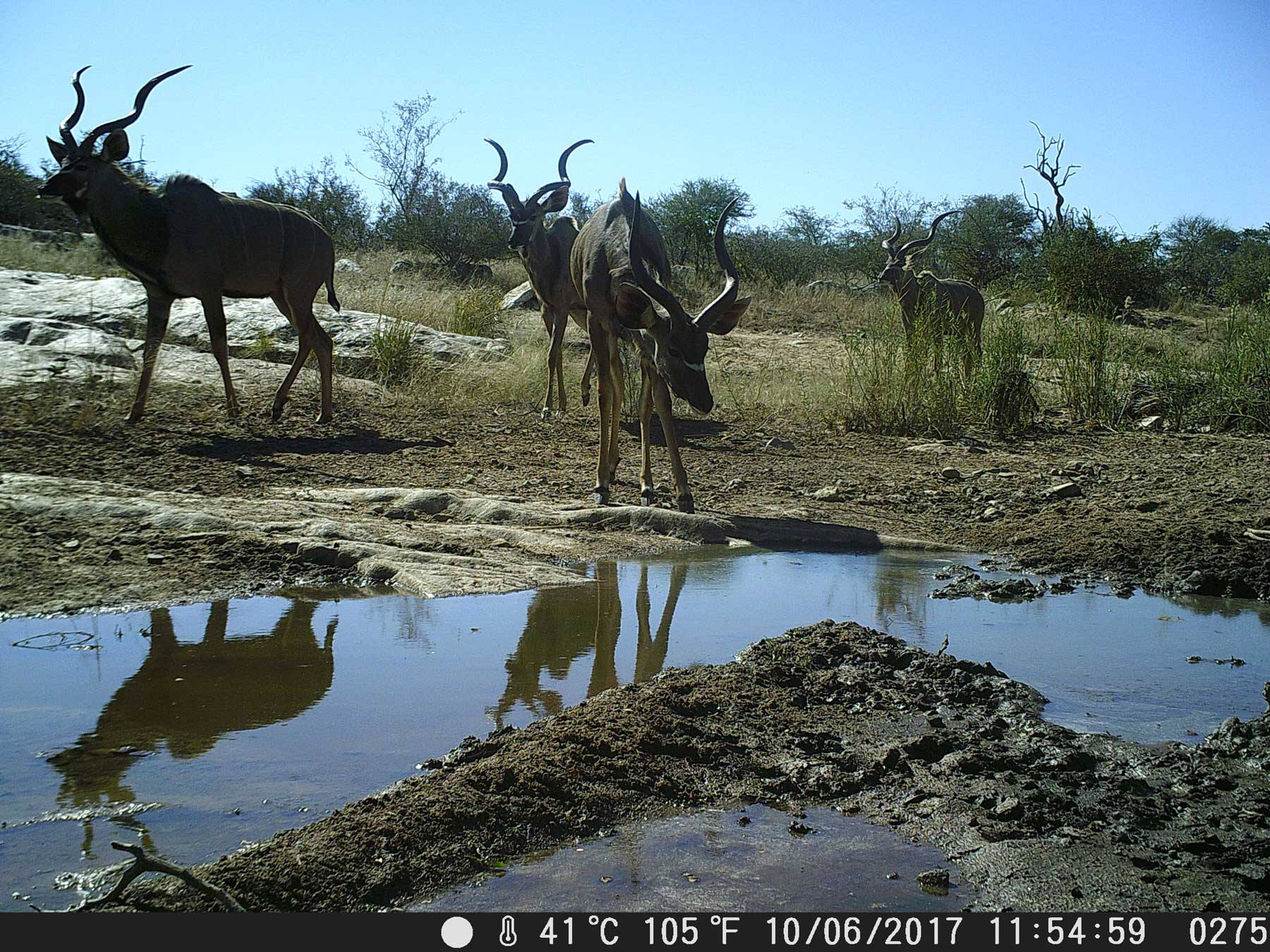 Ezulwini Kudu at Waterhole