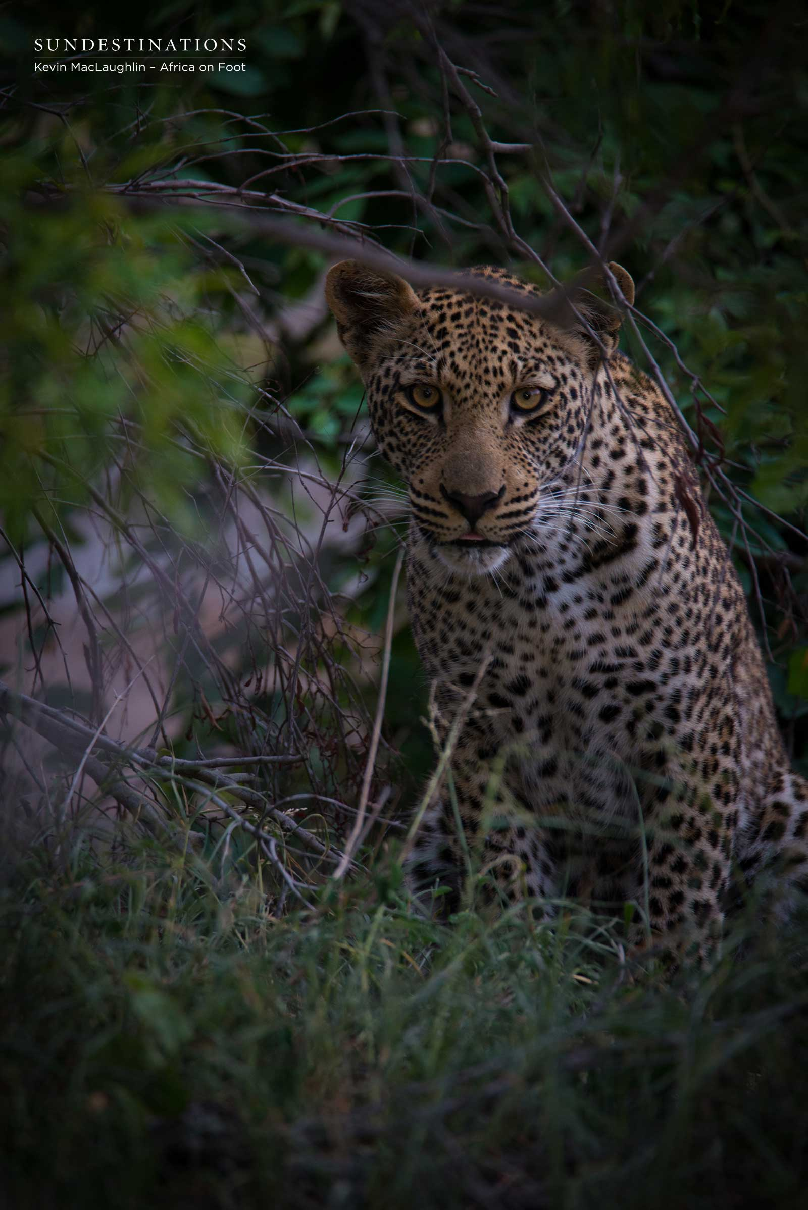 Bundu the Leopard