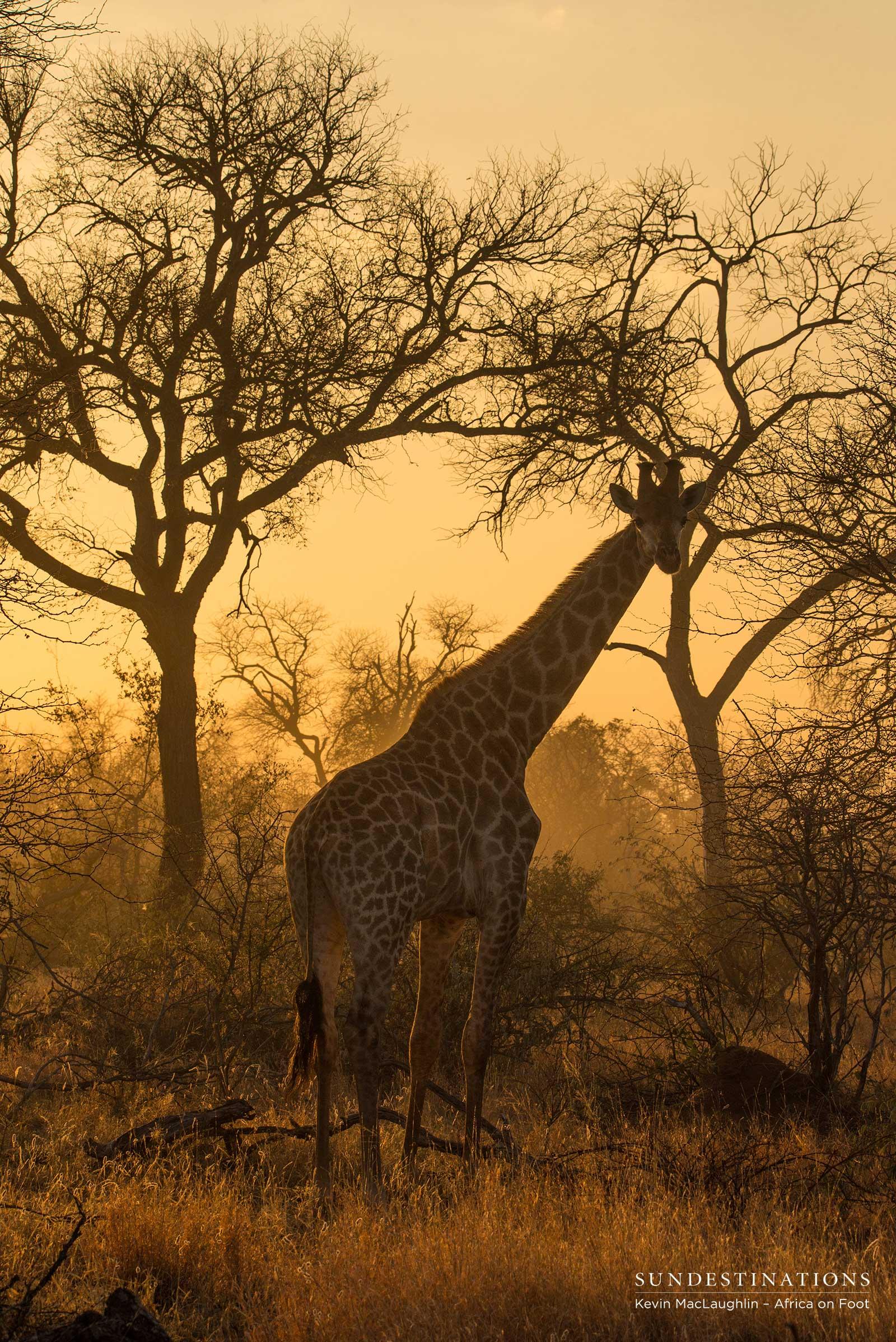 Giraffe In The Sunset Sun Destinations Discover Africa S Hidden