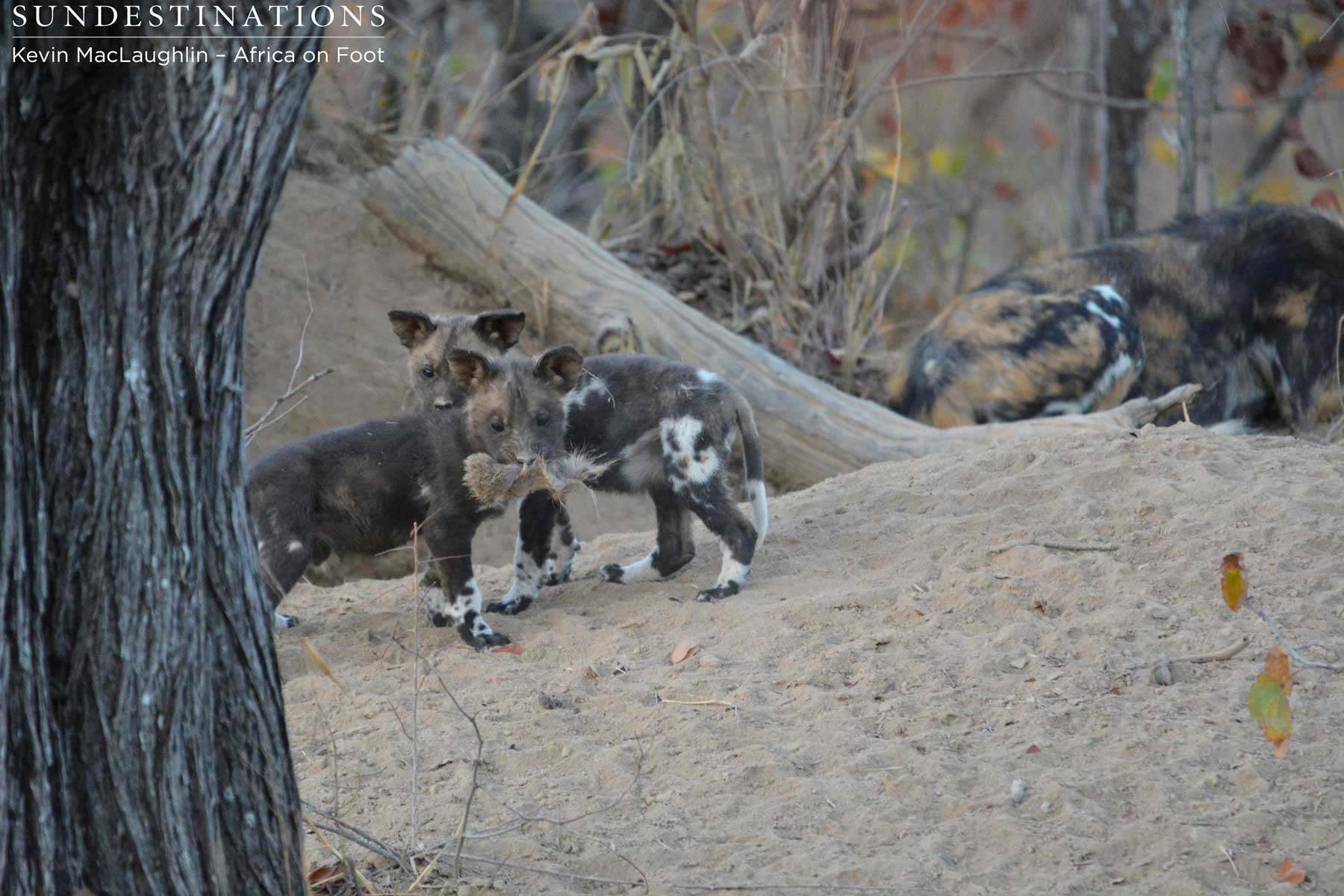 Africa on Foot Wild Dog Pups