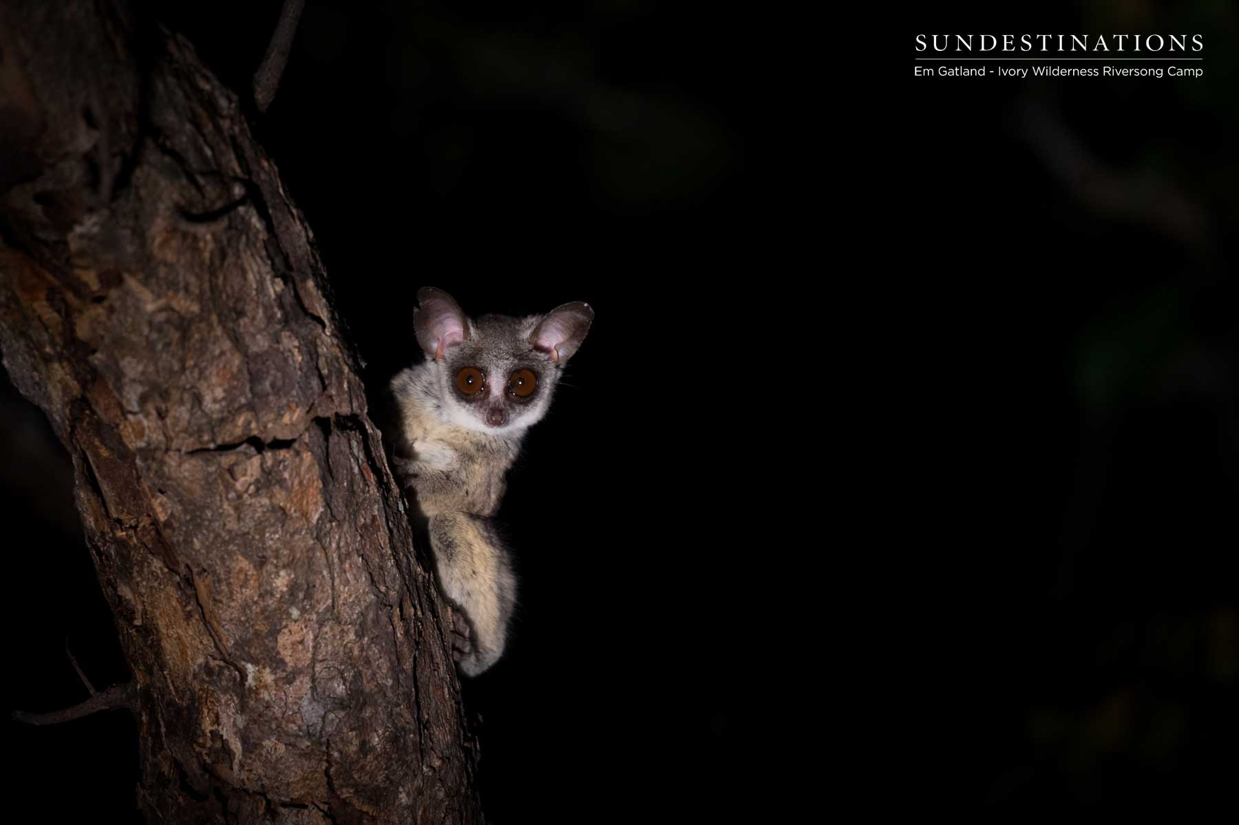 Ivory Wilderness Bush Baby