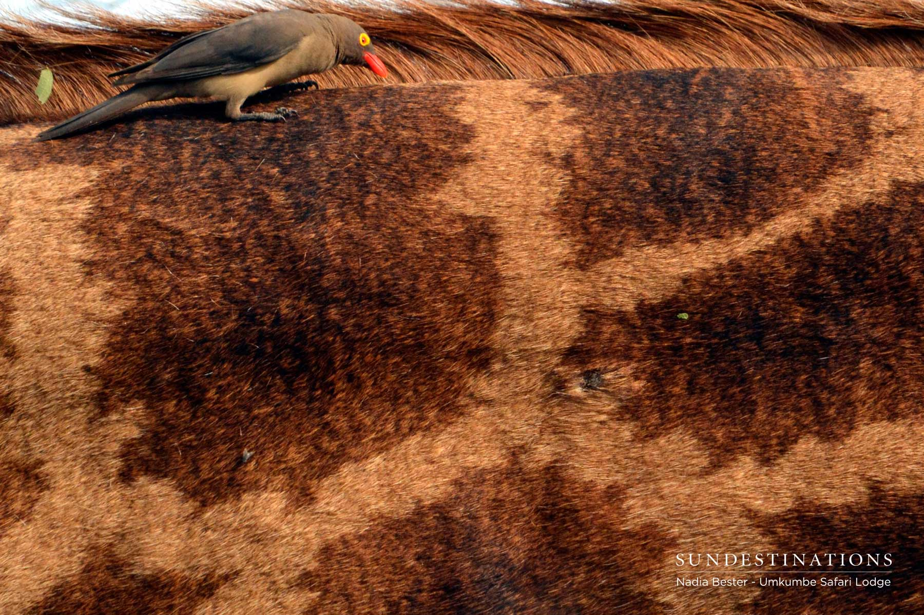 Oxpecker on Giraffe