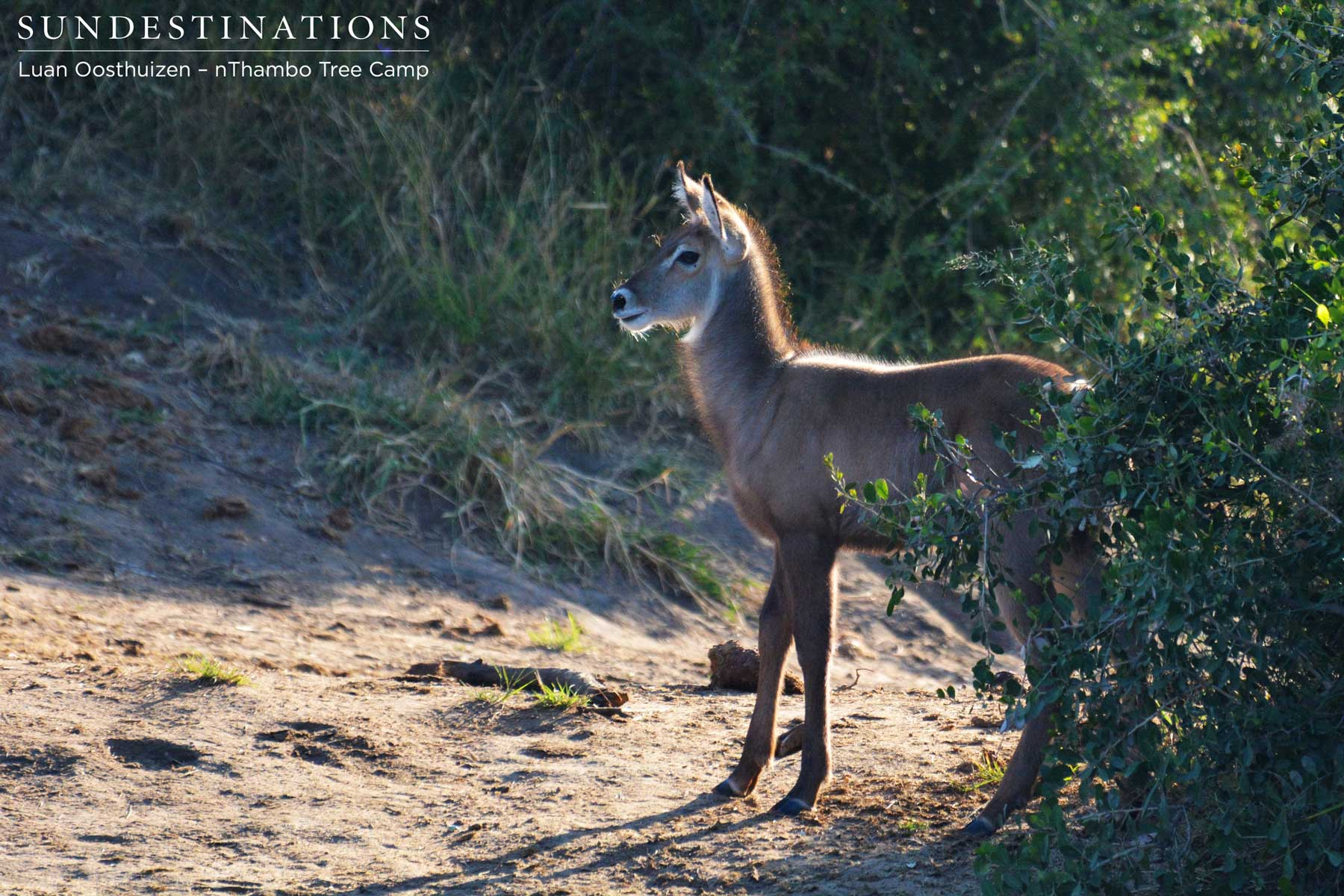 Young Waterbuck Calf nThambo