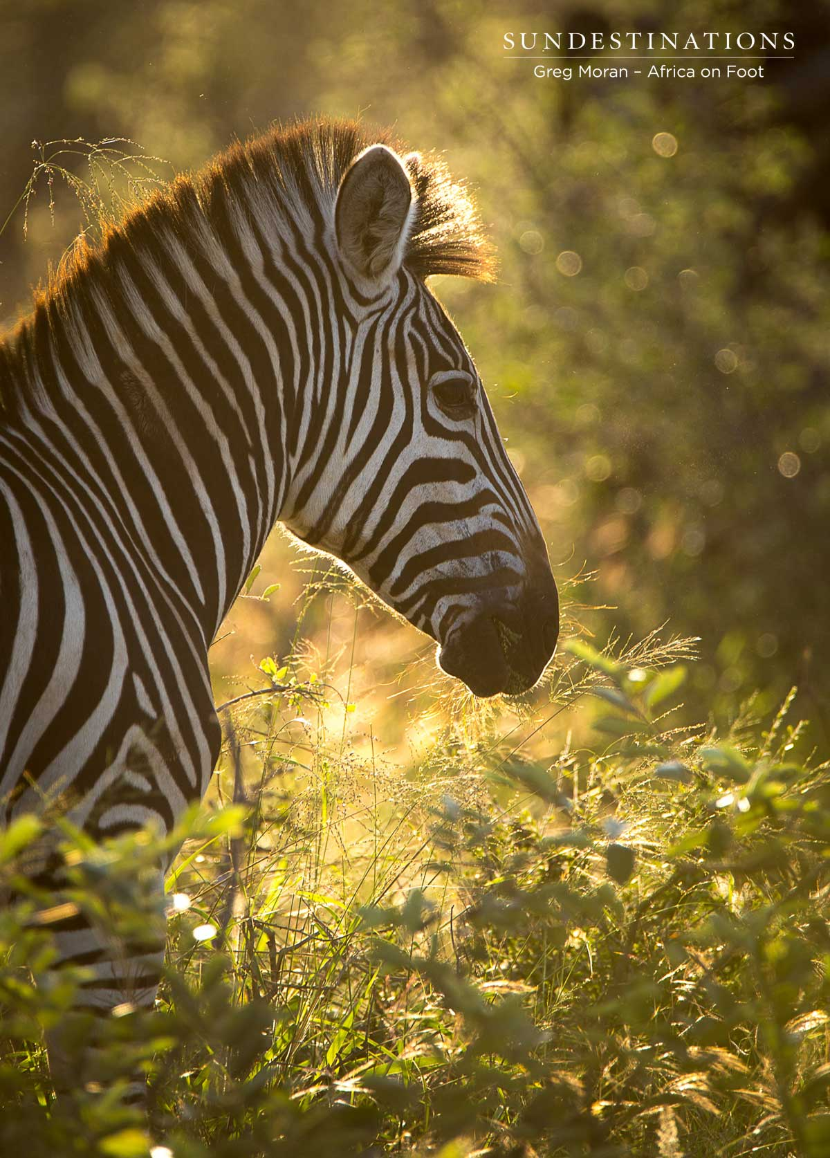 Zebra Africa on Foot