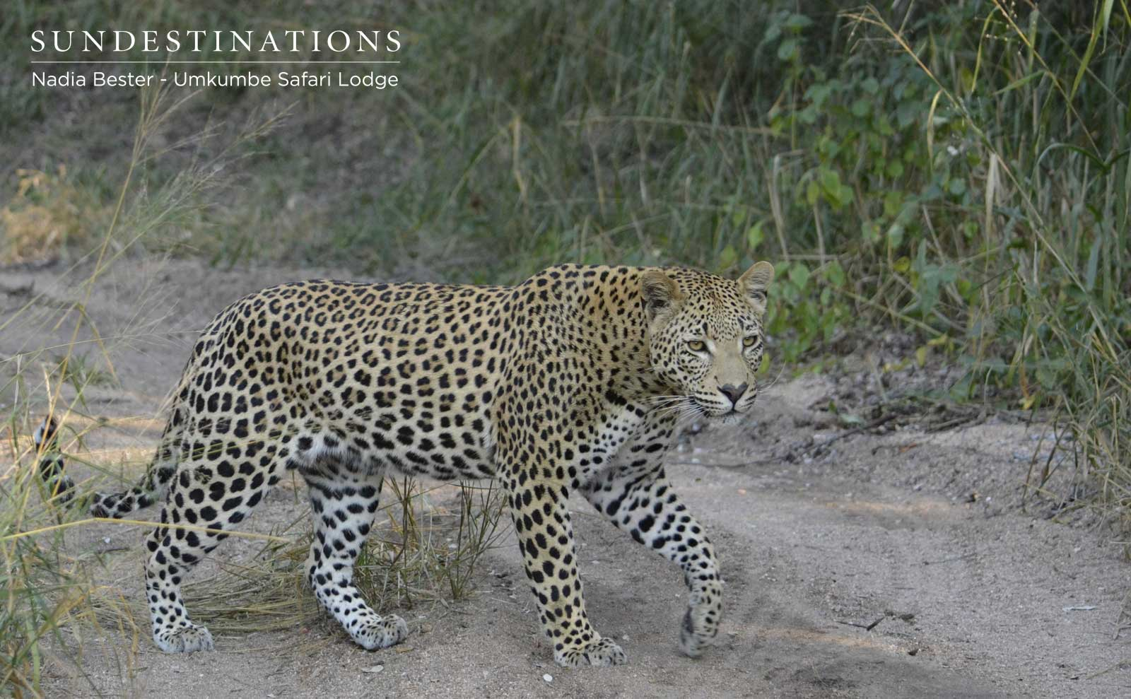 Umkumbe Leopard Update : The Young and the Restless