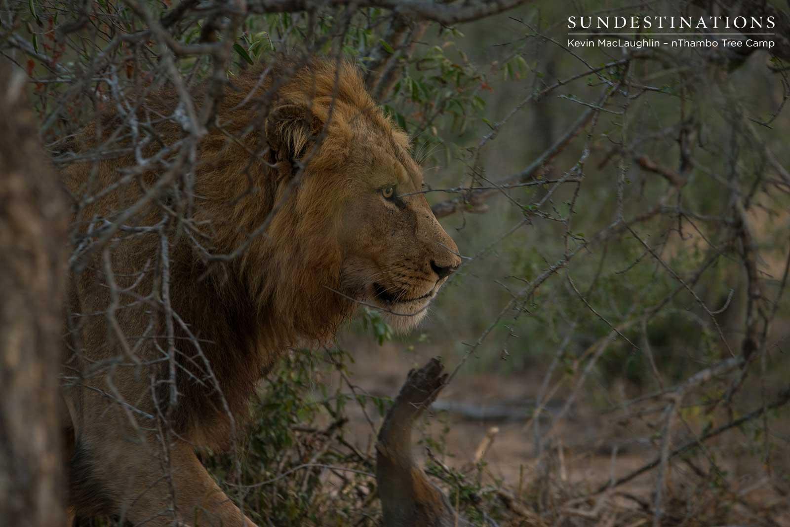 nThambo Lion Sighting