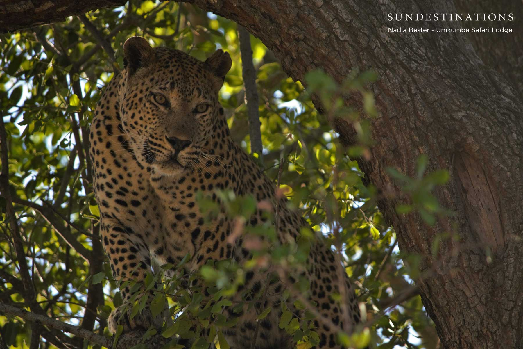 The Thieving Life of Mxabene the Leopard