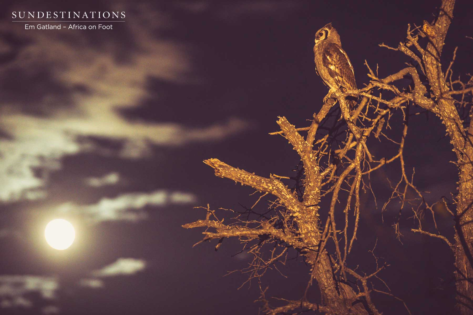 Owl at Twilight
