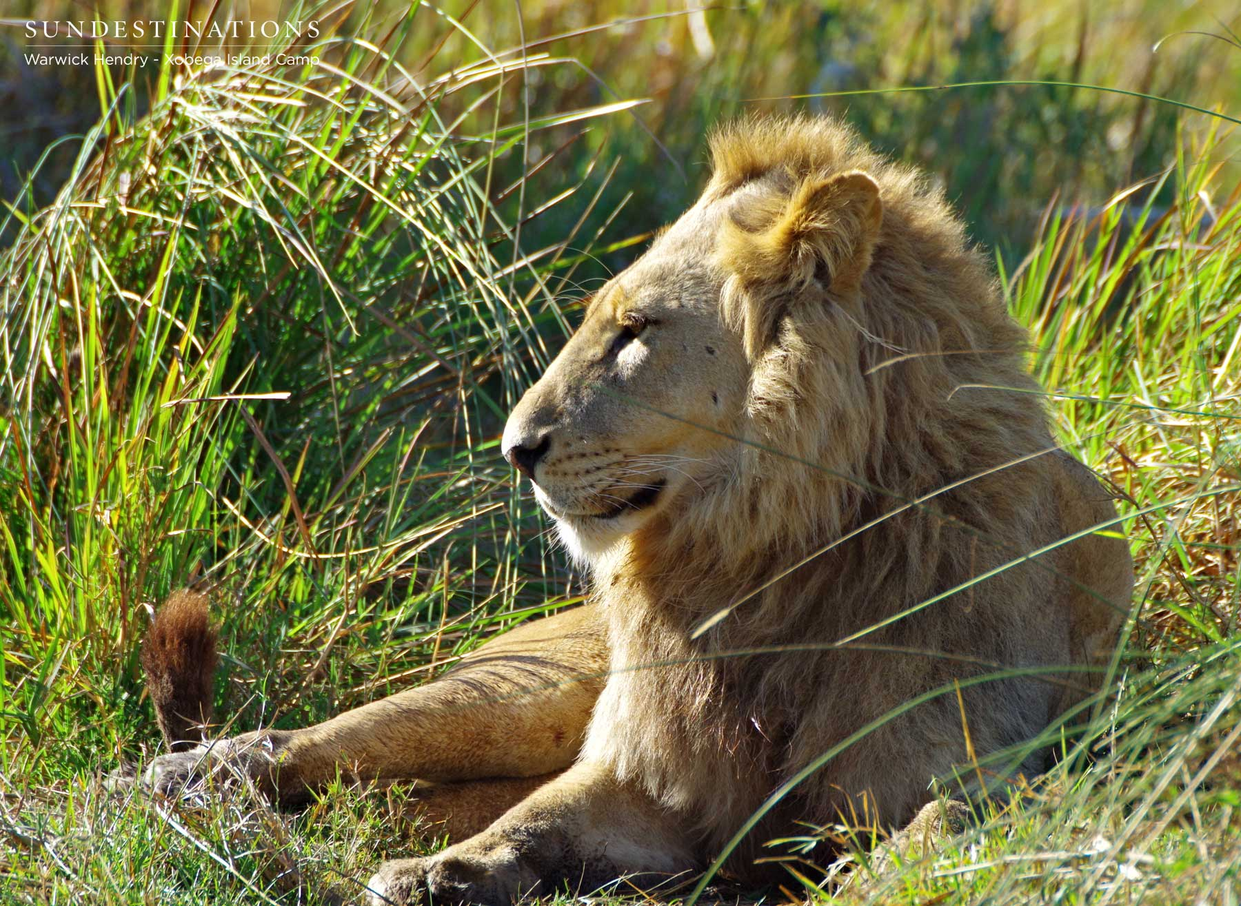 Xobega Swamp Lions
