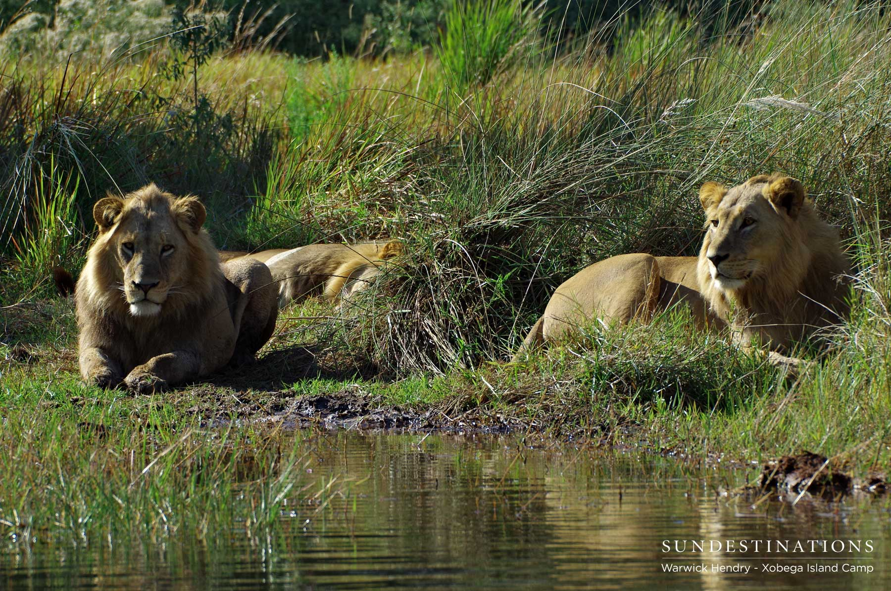 Warwick's Rare Sighting of the Okavango Delta's Swamp Lions